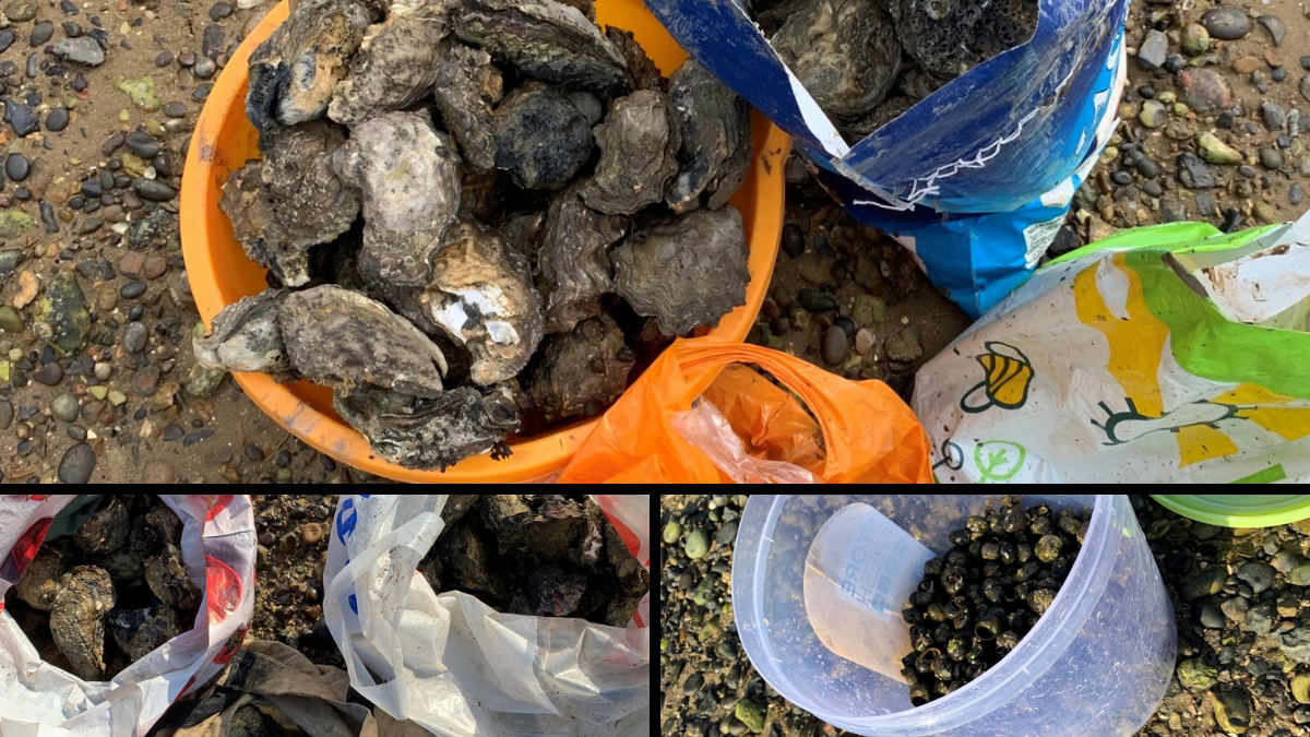 Shellfish in bags and buckets oysters and cockles