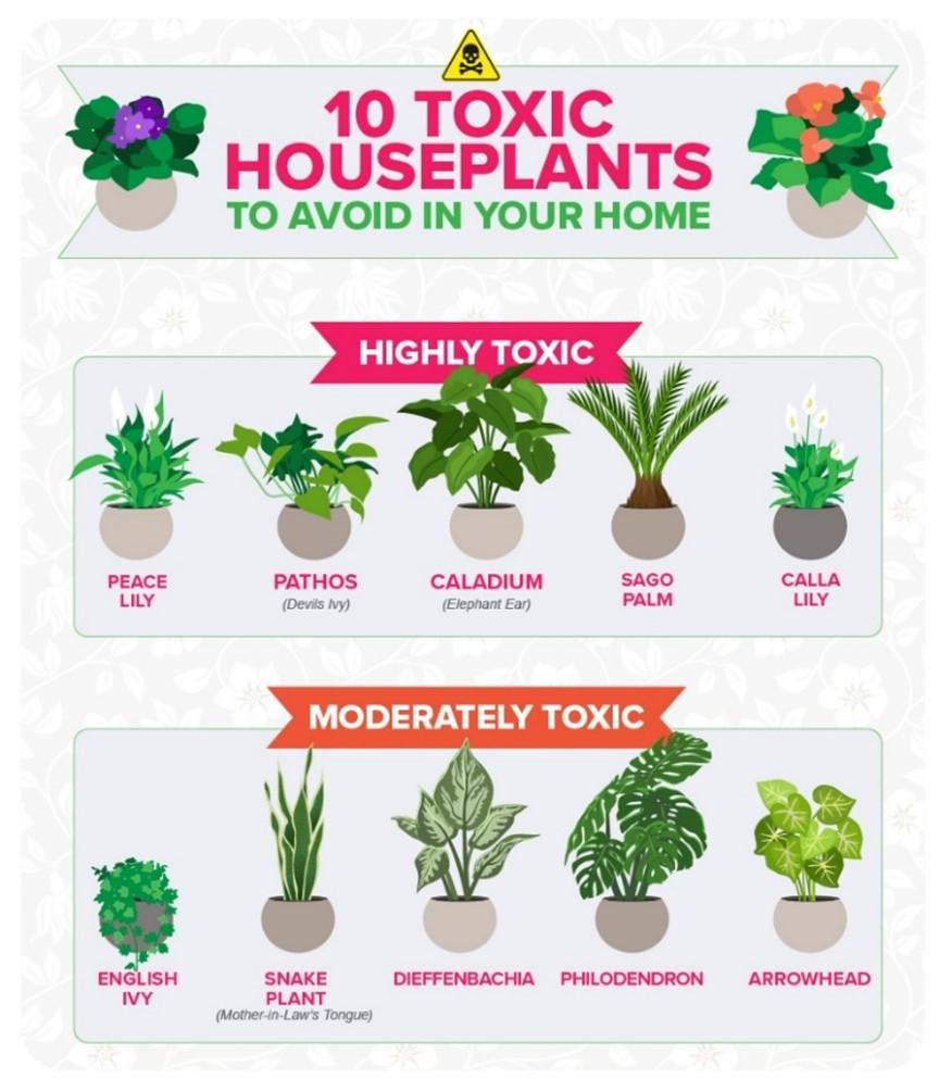 Toxic-House-Plants-Graphic